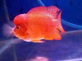 Pakan Ikan Louhan Termahal segala sesuatu tentang ikan tahukah anda jenis ikan