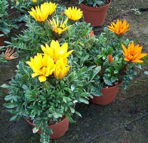 fiori simili alle margherite piante da vaso gazania gazanie gazania x hybrida