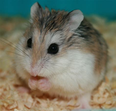 please enjoy a photo of a robo hamster hollywood hates me