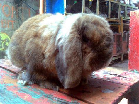 Lop Lop Coklat Lop Coklat A3 kelinci jenis fuzzy lop kelinci perkelincian rabbit rabbitry