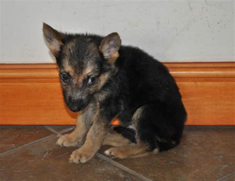 8 week german shepherd puppy gsd and puppies failed by the rspca