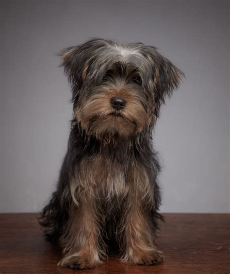 6 month yorkie adorable 6 month yorkie now sold burnley lancashire pets4homes