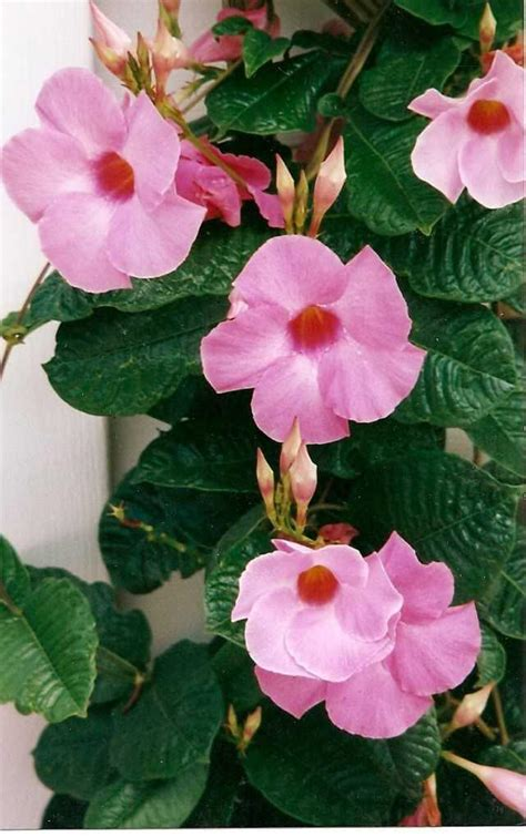 best perennial vine plant for shaded trellis the home depot community