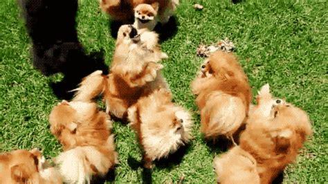 pomeranian gif puppies gifs dogs doggies pomeranian doggie pomerania puppies