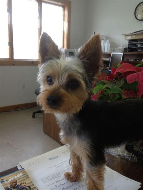 how to cut my silky terriers hair quot awwwwwwww quot looks like my buddy yorkie fresh hair cut
