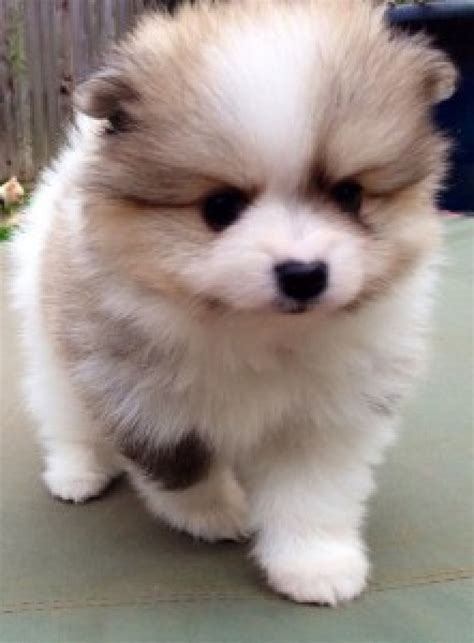 dogs for sale in louisiana teacup pomeranian puppies for sale dogs puppies louisiana free