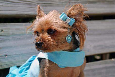 dogs with earrings 1st swarovski earrings for dogs