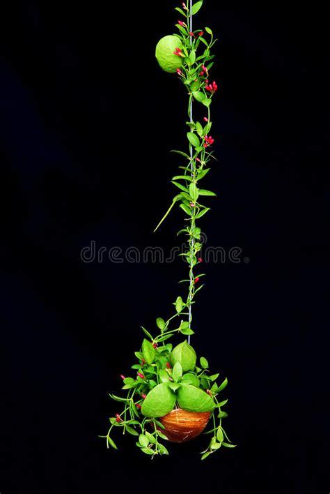 piante con fiore rosso pianta ricante verde con poco fiore rosso fotografia