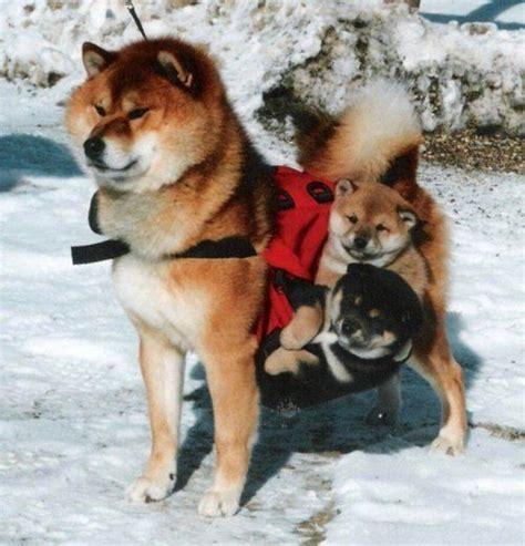 shiba inu puppy rescue shiba inu rescue things i want to or be