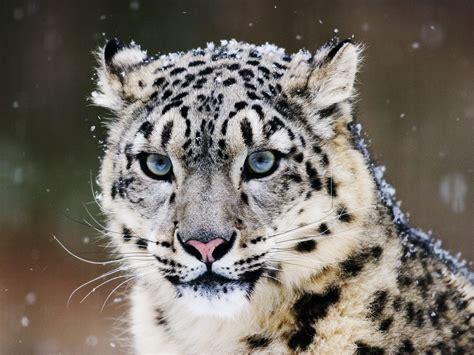 Snow leopard wallp