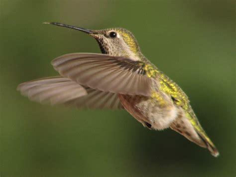 file annas hummingbird female in flight jpg