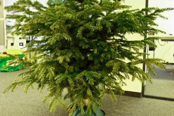 Tannenbaum Nadeln Verhindern by So Bleibt Der Christbaum L 228 Nger Frisch Agrarheute