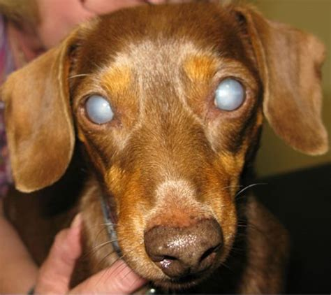 cataracts in dogs small animal cataract surgery referrals