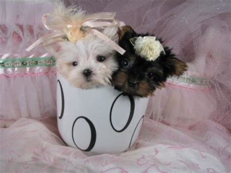 maltese yorkie teacup teacup puppies best animals