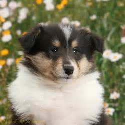 Rough Collie Facts Pictures Puppies Rescue Temperament Breeders » Ideas Home Design