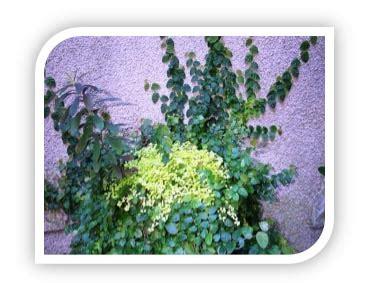 Sirih Gading Variegata Rimbun bari flora s tanaman rambat