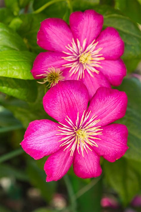Clematis Flowers For Summer Learn About Summer Flowering