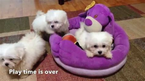 maltese and shih tzu puppies for sale adorable tiny maltese shih tzu mix puppies for sale in florida