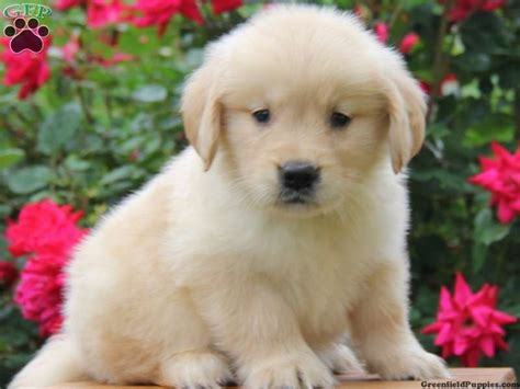golden retriever shop near me puppy adoption near me pets world