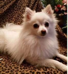 pomeranian rescue orlando pomeranian pictures the petpom photo gallery