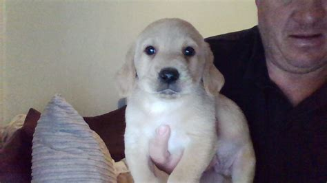 golden retriever puppies for sale in gloucestershire beautiful golden lab puppies for sale newnham gloucestershire pets4homes