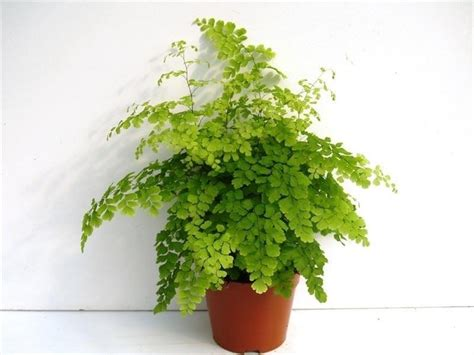 buy house plants uk adiantum raddianum fragrans fern house plant in a 13cm pot maidenhair fern house