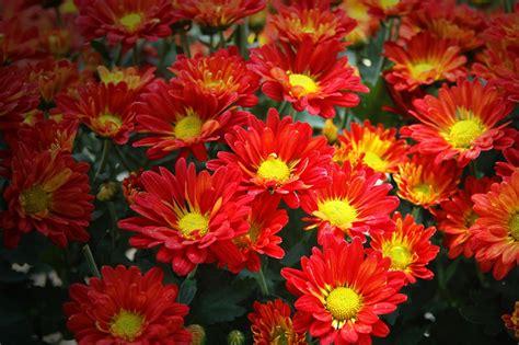 manfaat  khasiat bunga krisan merah  kesehatan
