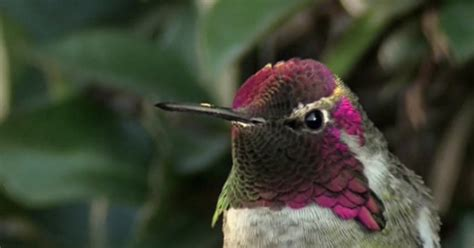 this hummingbird s mesmerizing color change will be the