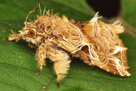 poodle moth lifespan venezuelan poodle moth caterpillar