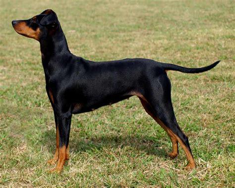 german pinscher puppies german pinscher breed standards