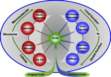 blood cell diagram blood cell diagrams diagram site