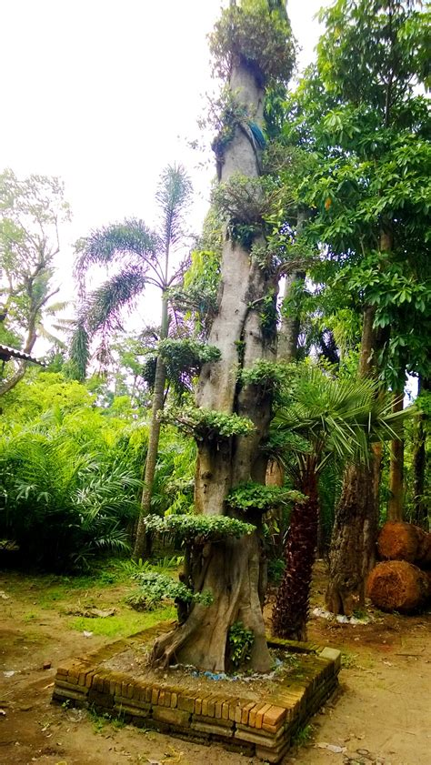 Jual Bibit Kefir Banjarmasin jual tanaman hias di banjarmasin jual bibit tanaman unggul