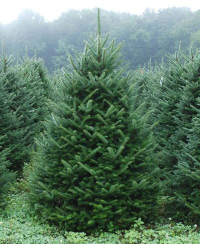 fraser fir cut mattern s pine ridge nursery tree farm