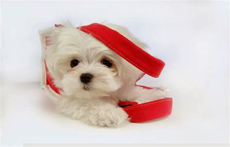 cute puppies hd wallpapers
