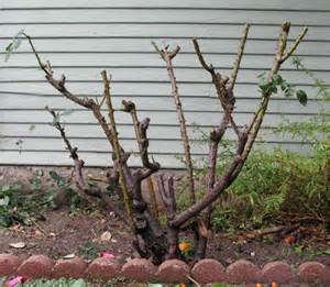 the engaged observer pruning roses in the rain