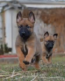 belgian sheepdog club of canada belgian malinois dog breed history and some interesting