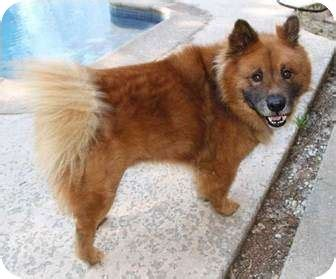 chow chow german shepherd mix adopted sacramento ca chow chow german shepherd mix