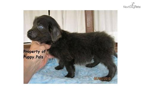 gray newfoundland puppies for sale gray newfoundland puppies for sale breeds picture