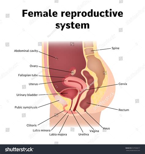 which body section contains the reproductive structures on a beetle female internal genital organs sectional structure stock