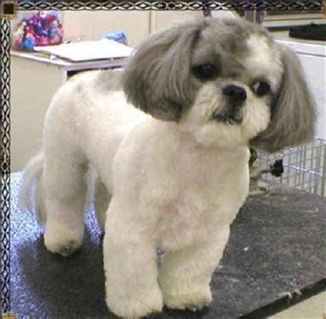 shih tzu puppies haircuts dogs pets shih tzu pictures and wallpapers
