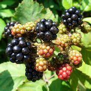 coltivare more in vaso pianta di more piante da frutto coltivare more