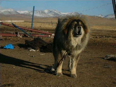mastiff colors tibetan mastiff colors drokpa tibetan mastiff