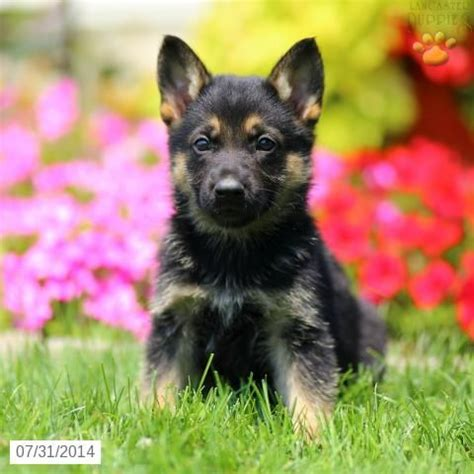 german shepherd puppies for sale in pennsylvania german shepherd puppy for sale in pennsylvania german shepherd german