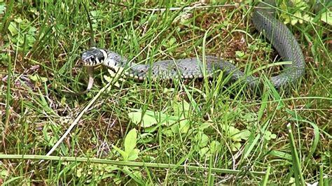 schlange im garten schlange im garten a snake in the pond