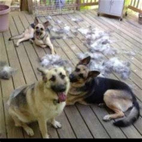 How Much Do Dogs Shed by 1000 Images About For The Of German Shepherds On