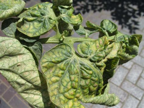 Chilli Plant Diseases - spider mites outdoors