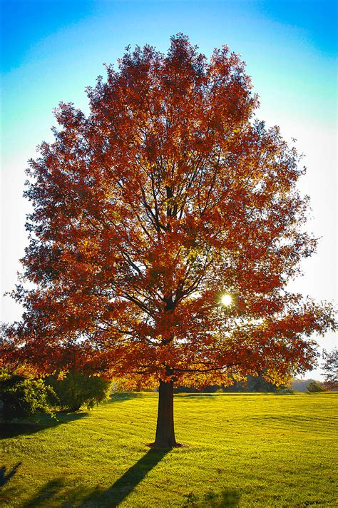 pin oak tree