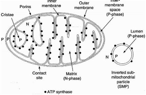 simple diagram of mitochondria positive health article mitochondrial fatigue