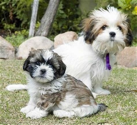 what does a shih tzu look like what does a shih tzu maltese cross look like yahoo answers