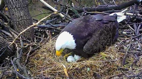 aef dc eagles bald eagle egg roll youtube